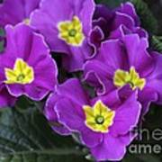 Primrose Purple Poster