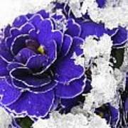 Primulas In The Snow Poster