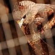 Prisoner Hawk  Poster
