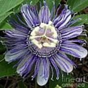 Pristine Passion Flower Poster