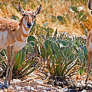 Pronghorn Antelope Poster