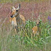 Pronghorn Doe And Fawn Poster