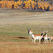 Pronghorn In The Park Poster