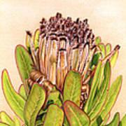 Protea In Autumn Poster