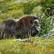 Protecting Muskox Poster