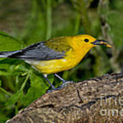 Prothonotary Warbler Poster