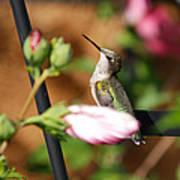 Proudful Little Hummingbird Poster
