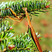 Prying Mantis On The Pine Tree Poster