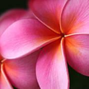 Pua Lei Aloha Cherished Blossom Pink Tropical Plumeria Hina Ma Lai Lena O Hawaii Poster