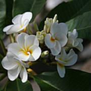 Pua Melia Na Puakea Onaona Tropical Plumeria Poster