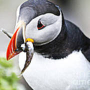 Puffin With Fish Poster