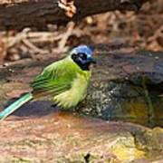 Puffy Green Jay Poster