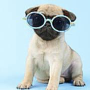 Pug Cool Poster by Greg Cuddiford