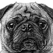 Pug Dog Black And White Poster