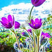 Pulsatilla Vulgaris Flowers Poster