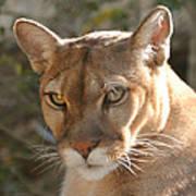Puma Closeup Poster