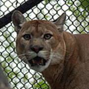 Puma Stare Poster