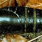 Pupa Of A Regal Moth Citheronia Regalis Poster