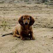 Puppy On The Beach Poster