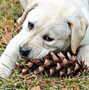 Puppy With Pine Cone Poster