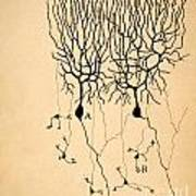 Purkinje Cells By Cajal 1899 Poster