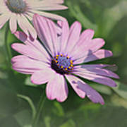 Purple African Daisy Poster
