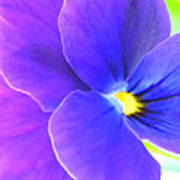 Purple And Blue Viola Poster