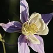 Purple And Cream Columbine Flower Poster