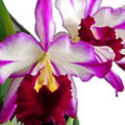 Purple And White Cattleyas Against White Space Poster
