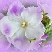 Purple And White Fancy African Violets Poster