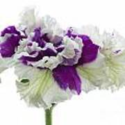 Purple And White Frilly Petunia Poster