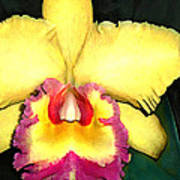 Purple And Yellow Cattleya Orchids Poster
