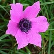 Purple Anemone - Anemone Coronaria Flower Poster