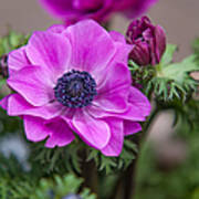Purple Anemone. Flowers Of Holland Poster