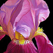 Purple Bearded Iris Poster