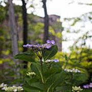 Purple Blossoms Lacecap Hydrangeas Poster