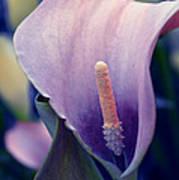 Purple Calla Flower Poster