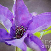 Purple Clematis Close Up Poster