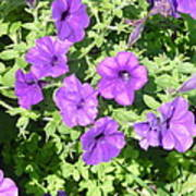 Petunias Purple Club Poster