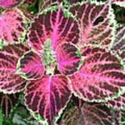 Purple Coleus With Seeds Poster