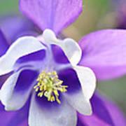 Purple Columbine Poster