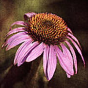 Purple Cone Flower II Poster