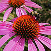Purple Cone Flower With Bee Poster