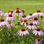 Purple Cone Flowers Poster