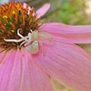 Purple Coneflower With Crab Spider Poster