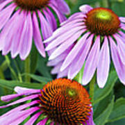 Purple Coneflowers - D007649a Poster