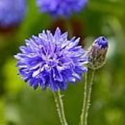 Purple Cornflower Poster