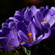 Purple Crocuses On A Spring Day Poster