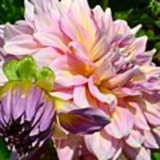 Purple Dahlia With Bud Poster