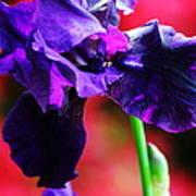 Purple Dutch Iris Poster